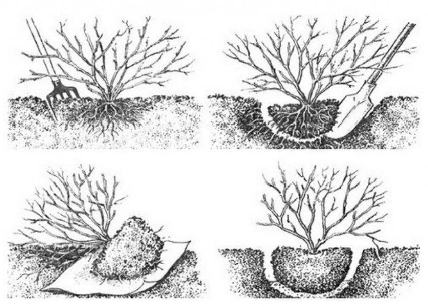 Схема пересадки смородины