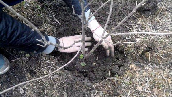 Посадка смородины осенью: когда и как правильно сажать, выбор саженцев и черенков, подготовка почвы, уход за молодыми кустами