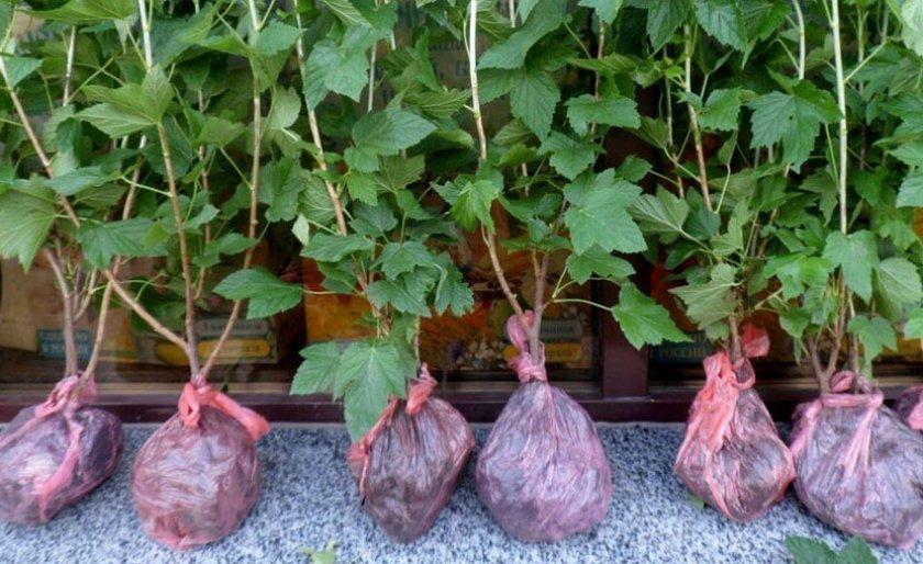 Саженци чёрной смородины