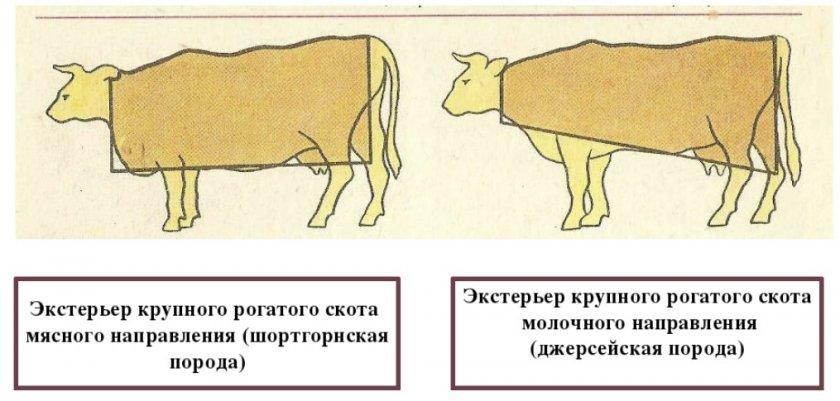 Экстерьер КРС