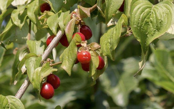 Какие сорта кизила выбрать для сада?