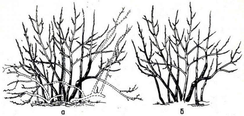 Формировка куста голубики