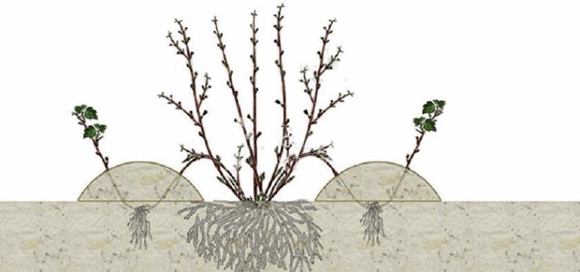 Размножение калины Бульденеж отводками