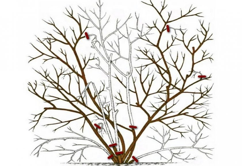 Схема обрезки голубики