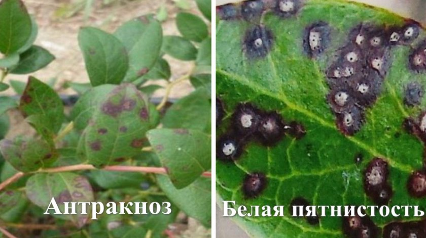 Заболевания листьев голубики