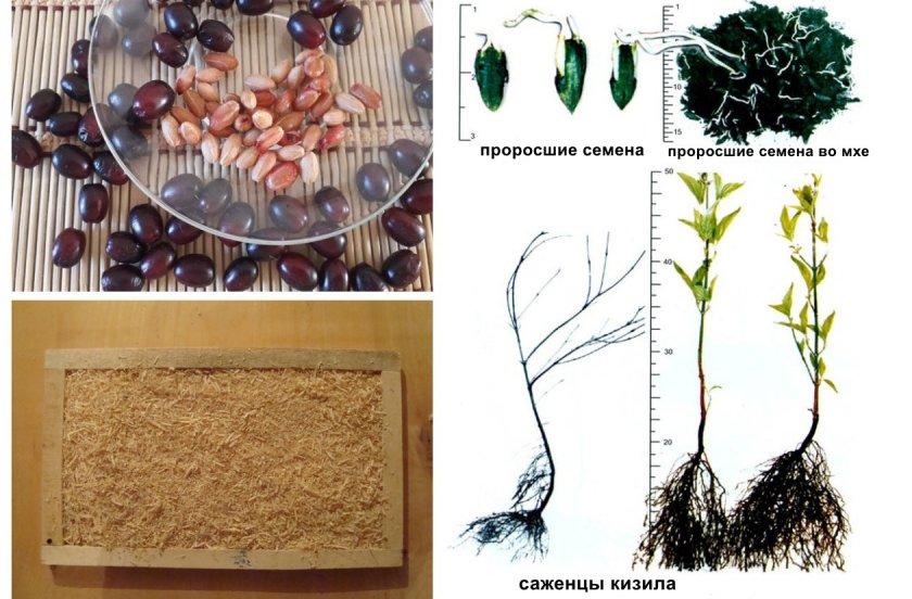 Размножение кизила из семян