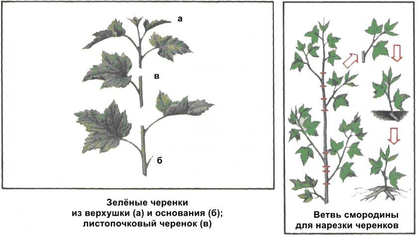 Подготовка черенков смородины