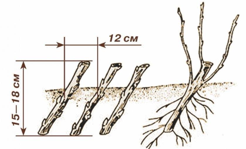 Посадка черенков смородины