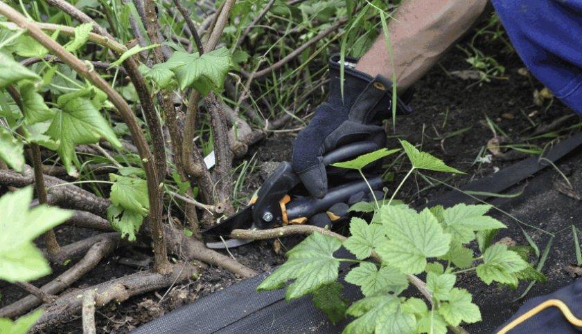Нарезка черенков смородины весной