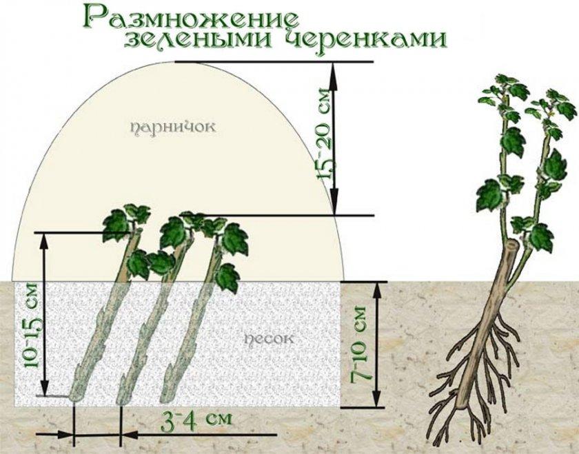 Размножение красной смородины зелёными черенками