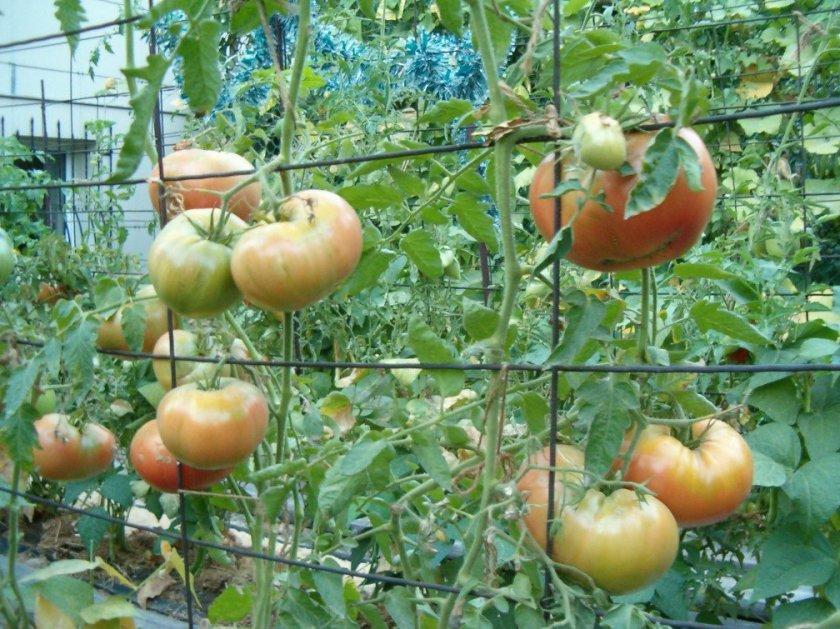 Сетка для подвязывания помидор