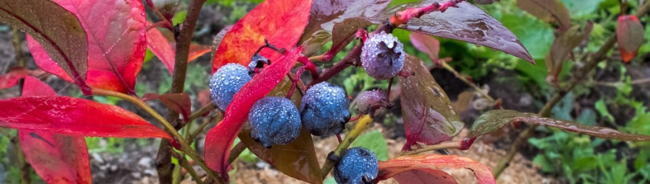 растение лимонник, красные листья у голубики фото разъем