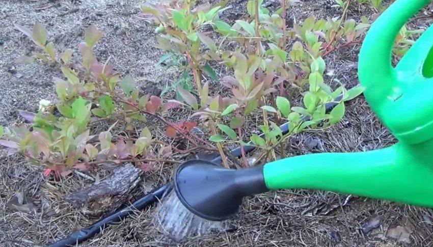 Подкисление почвы для голубики