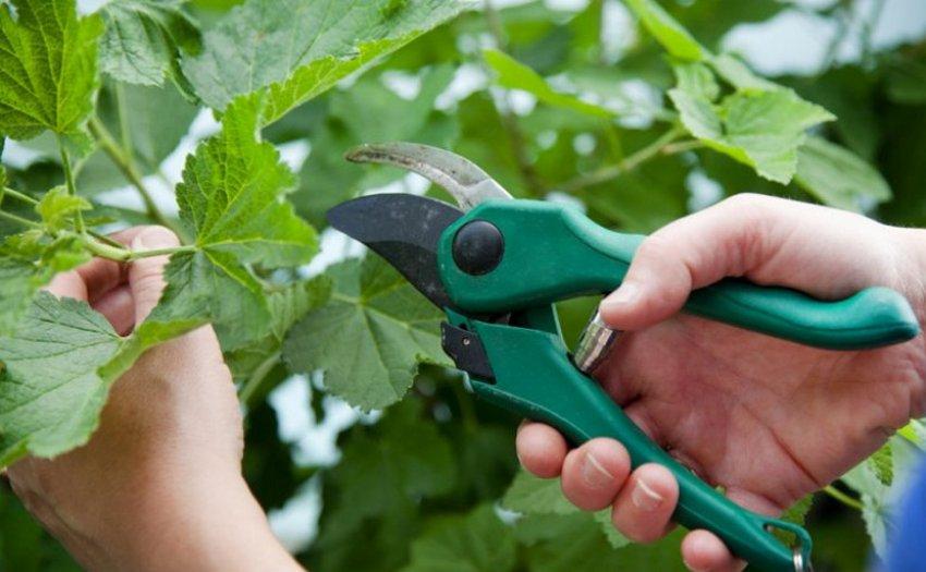 Обрезка листьев смородины
