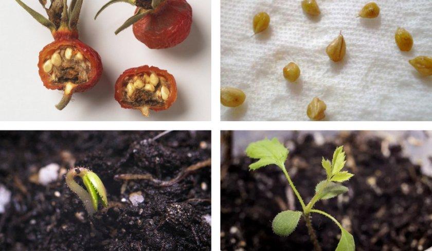 Выращивание шиповника из семян