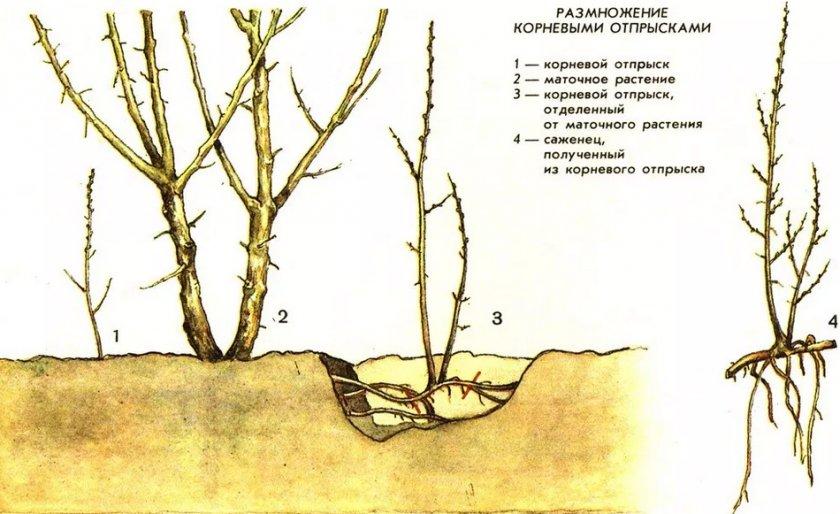 Размножение шиповника корневыми отпрысками