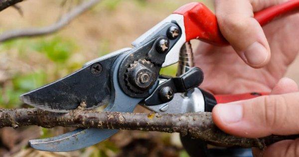 Как обрезать смородину осенью правильно, чтобы был хороший урожай: схема для начинающих