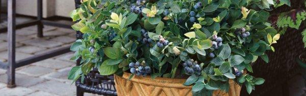 Выращивание голубики дома в горшке на подоконнике, фото