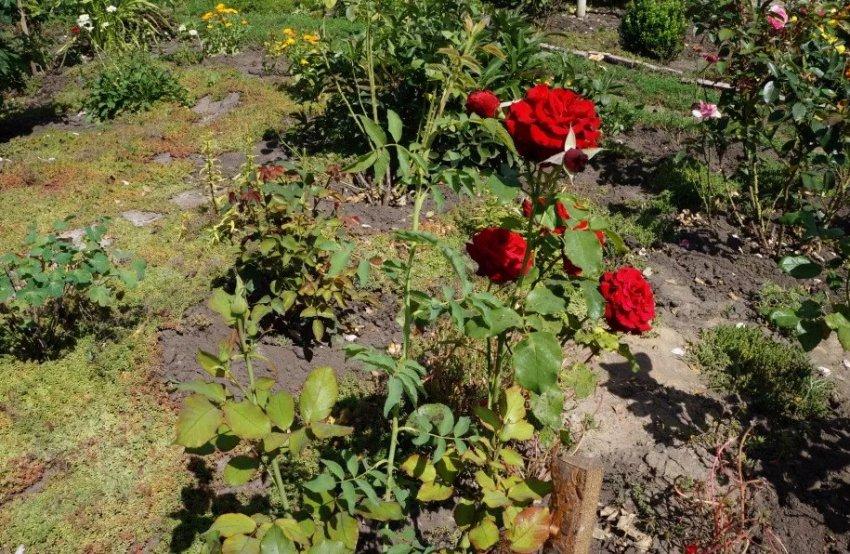Шиповник растет внутри куста розы