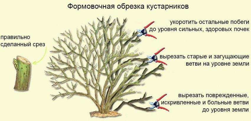 Формовочная обрезка кустарника