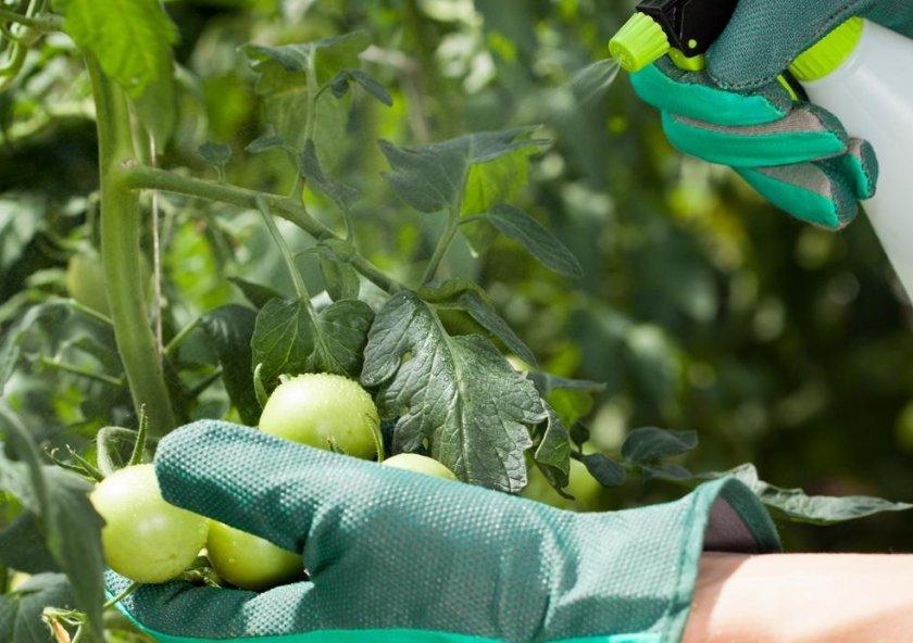 Внекорневая обработка томатов