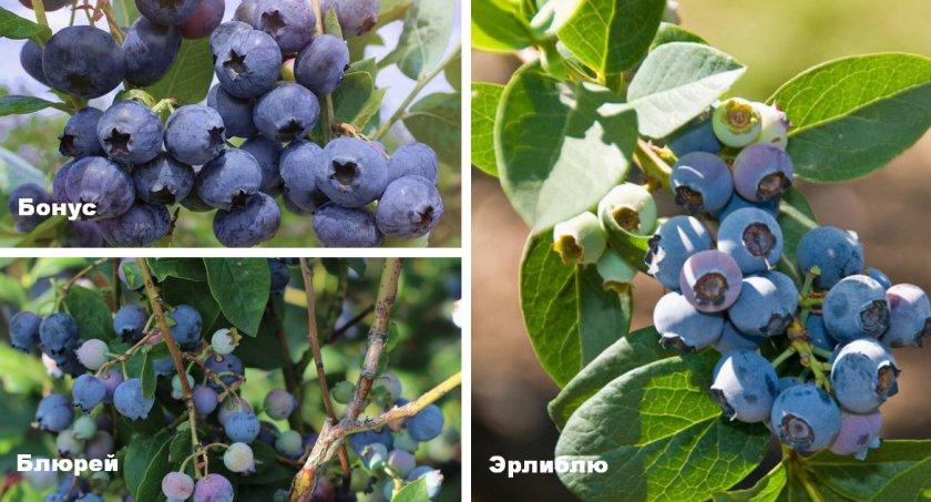 Сорта голубики для выращивание в Средней полосе