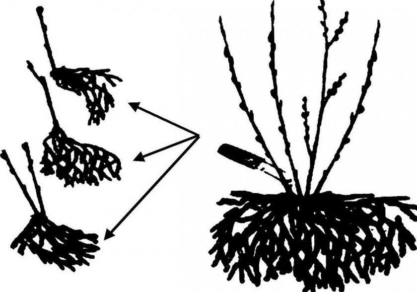 Размножение жимолости делением куста