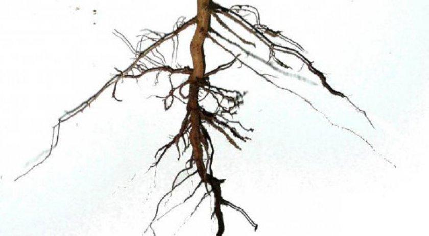 Стержневая корневая система