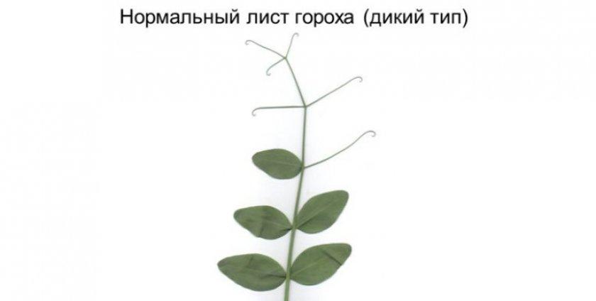 Листья гороха