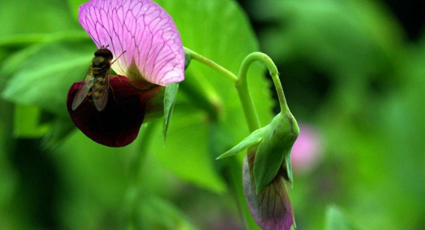 Горох в период цветения