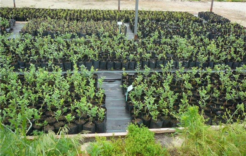 Место для выращивание голубики