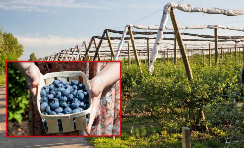Сбор урожая с плантации голубики