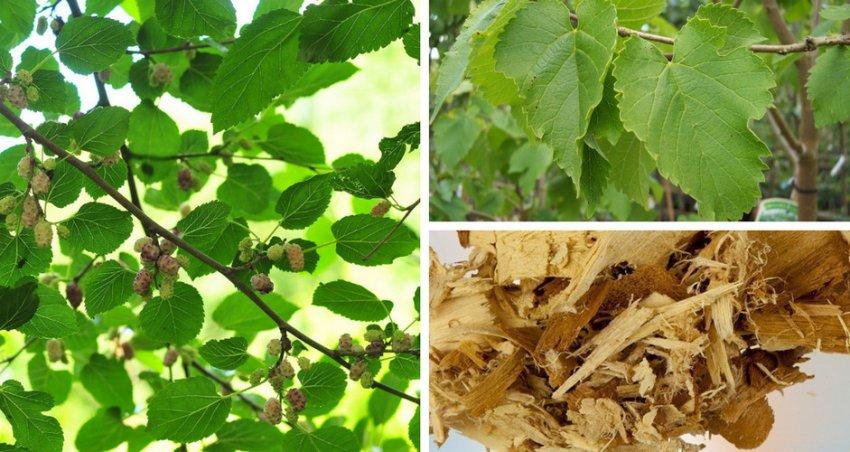 Листья, кора и ветки шелковицы