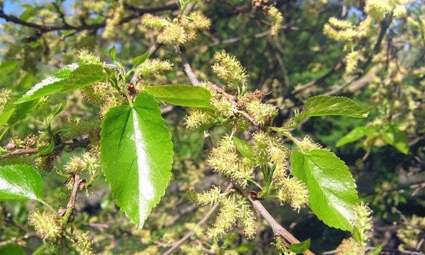 Цветение шелковицы