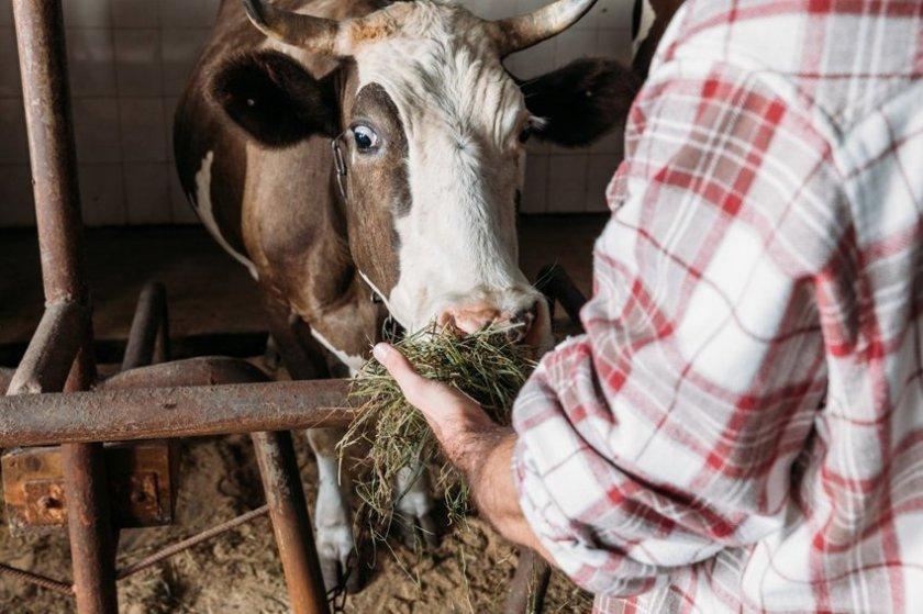 Особенности содержания коров