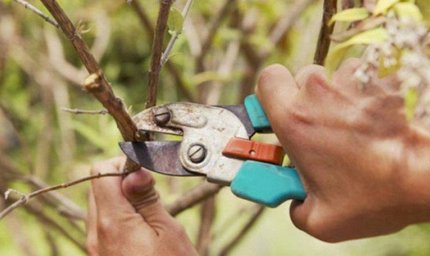 Обрезка шелковицы весной
