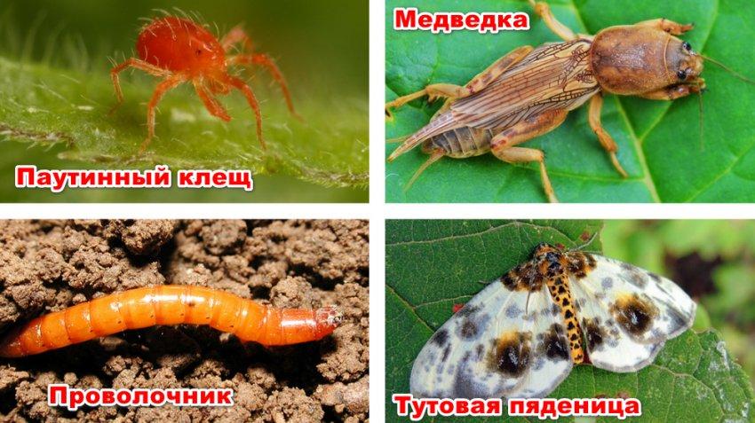 Вредители шелковицы