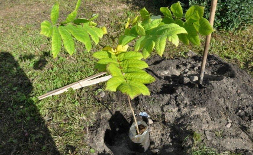 Посадка маньчжурского ореха
