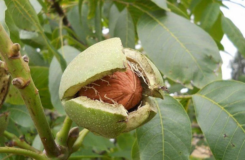 Грецкий орех Астаховский