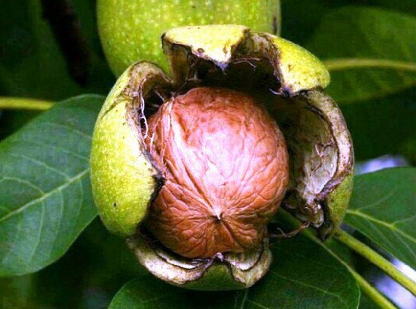 Грецкий орех Левина