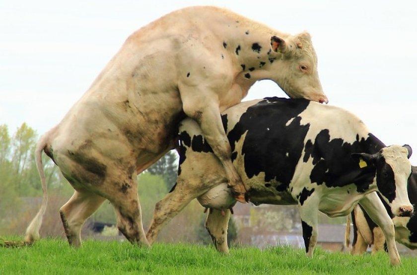 Почему не покрываеться корова