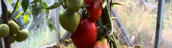 Томат Мазарини - характеристика и фото сорта, урожайность, отзывы