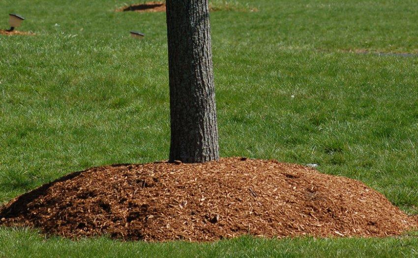 Мульчирование почвы вокруг дерева