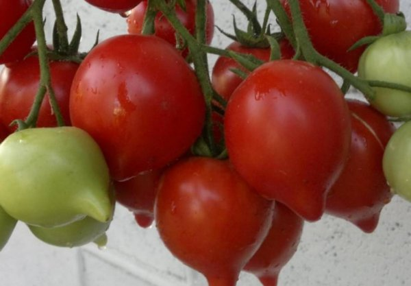 Особенности выращивания томата буденовка