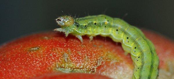 Зеленые гусеницы на помидорах в теплице: как бороться народными средствами и отравой, чем обработать вредителя, фото