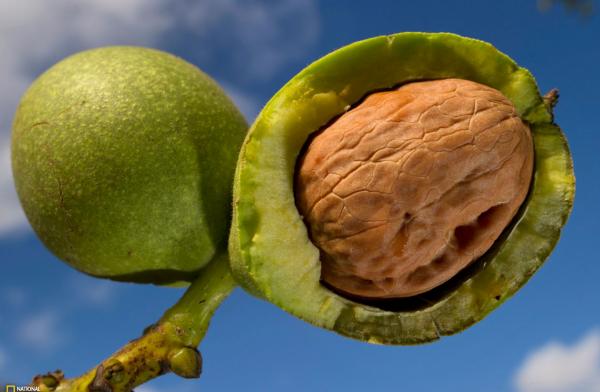 Скорлупа грецкого ореха: применение. Народные рецепты лечения скорлупой грецкого ореха