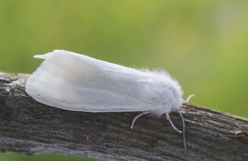 Белая американская бабочка