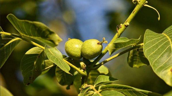 Как посадить грецкий орех на урале