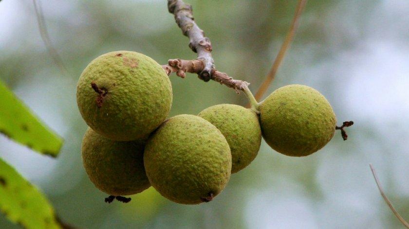 Маньчжурский чёрный орех