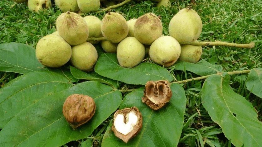 Маньчжурские орехи